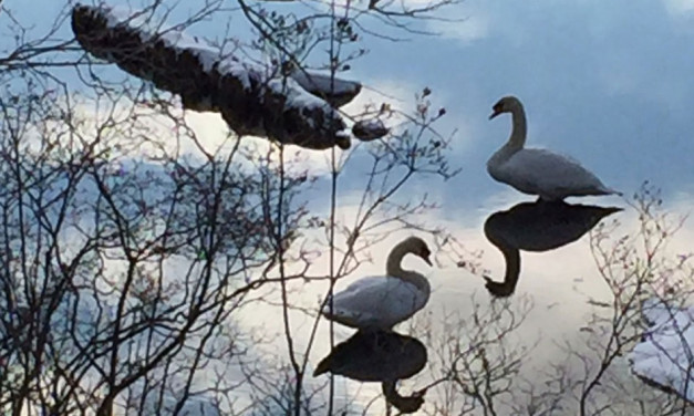 The Swans on Knops Pond February 2016