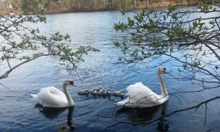 Help Keep The Swans Wild
