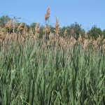 Talk Announcement: Invasive Species- Phragmites
