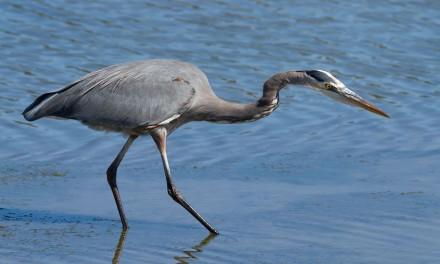 Great Blue Heron on Knops Pond